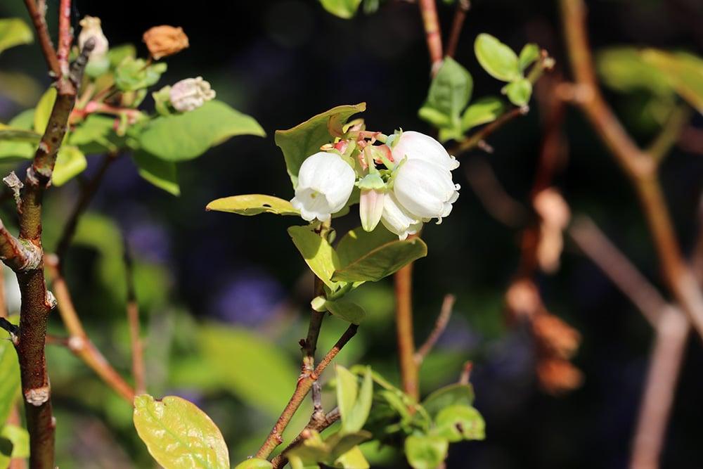 Heidelbeerblüte
