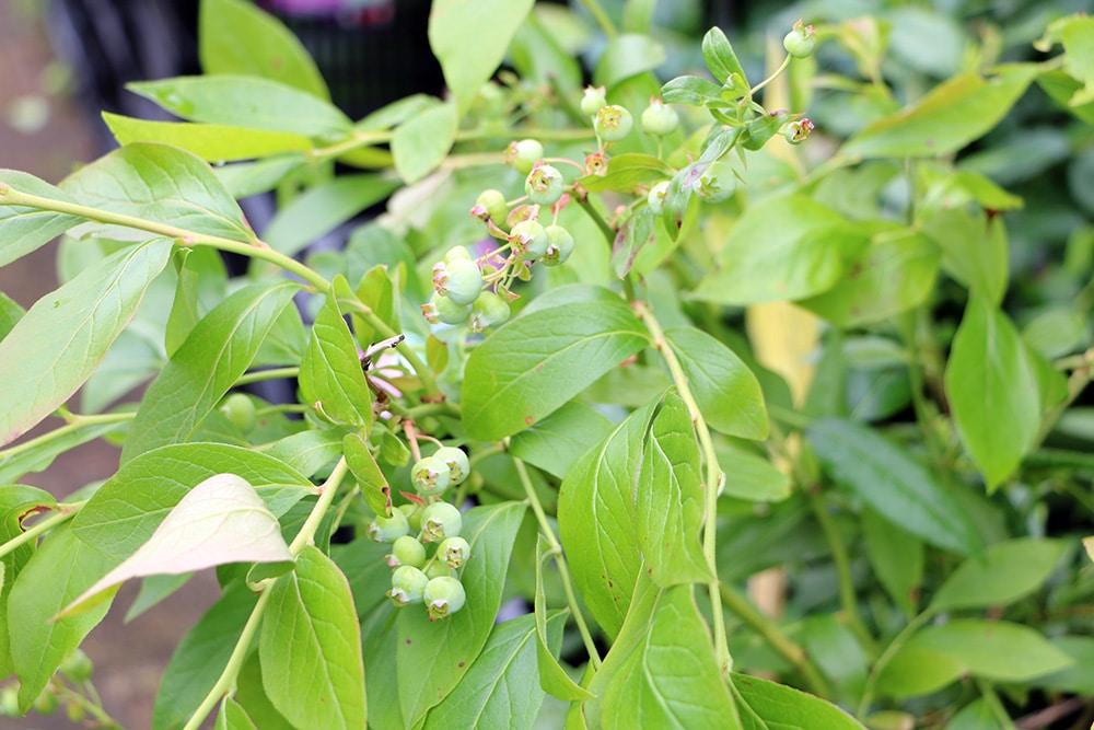 Heidelbeere unreif