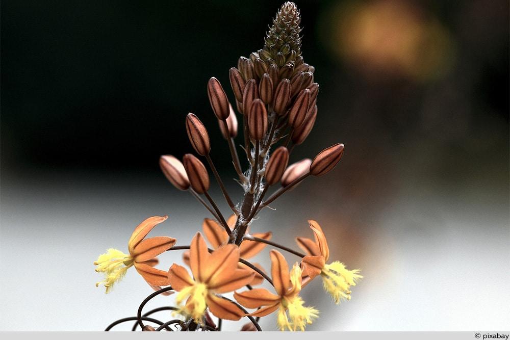 Katzenschwanzpflanze
