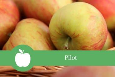 Pilot Apfelsorte