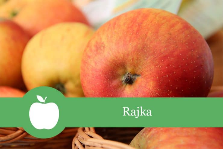 Rajka Apfelsorte