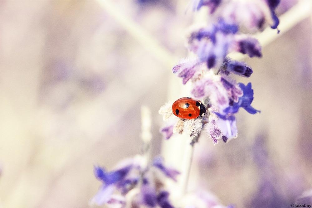Lavendel Marienkäfer