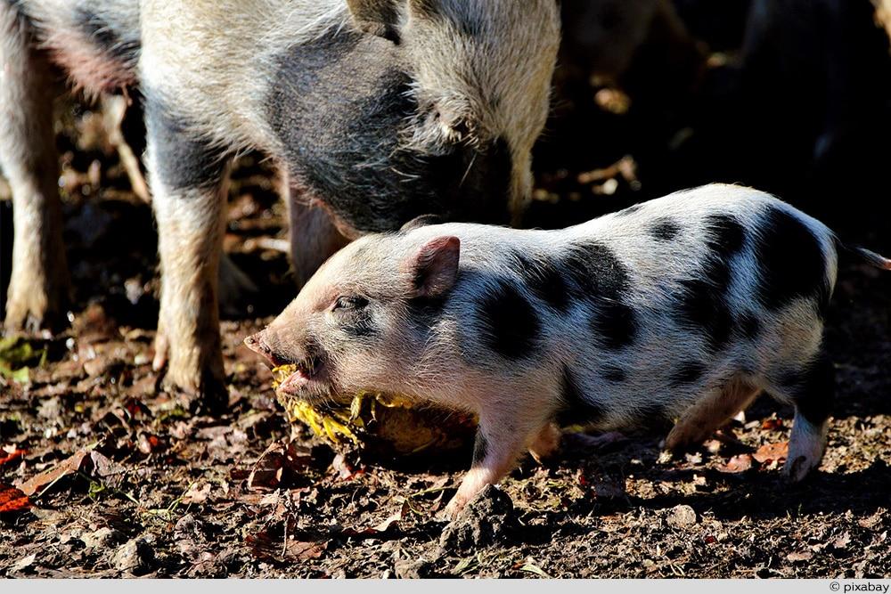 Miniaturschwein