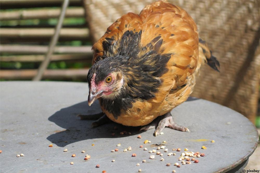 Vorwerk Huhn