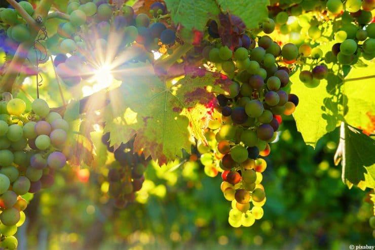 Wein anbauen