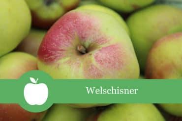 Welschisner