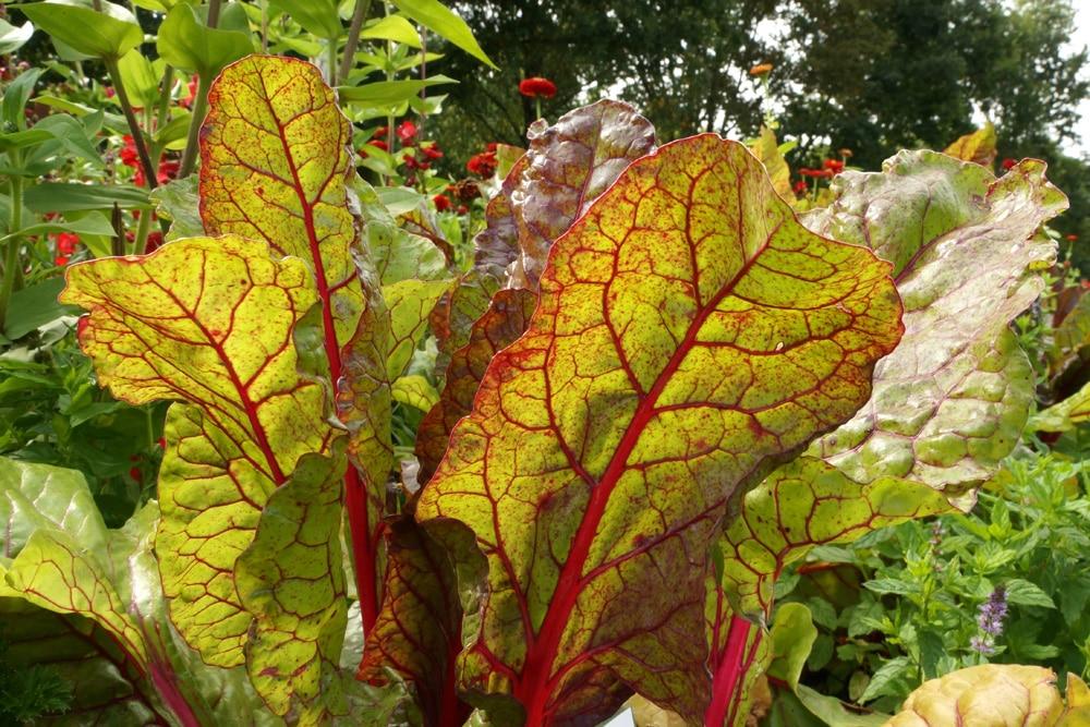 Mangold - Beta vulgaris subsp. vulgaris
