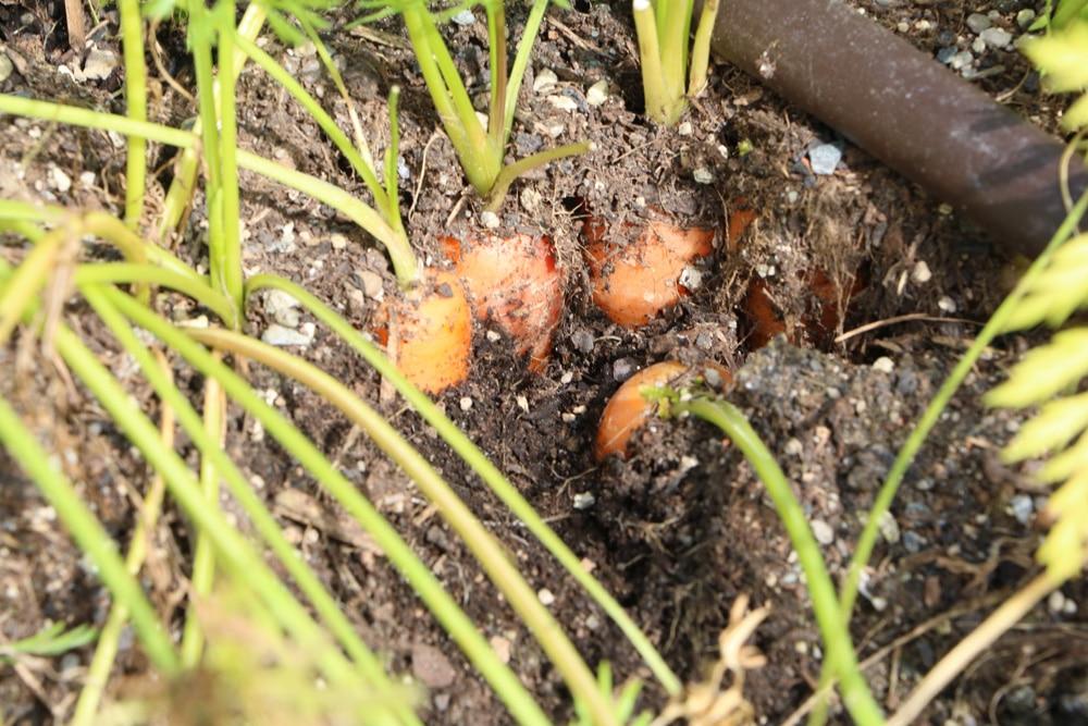 Karotte - Daucus carota