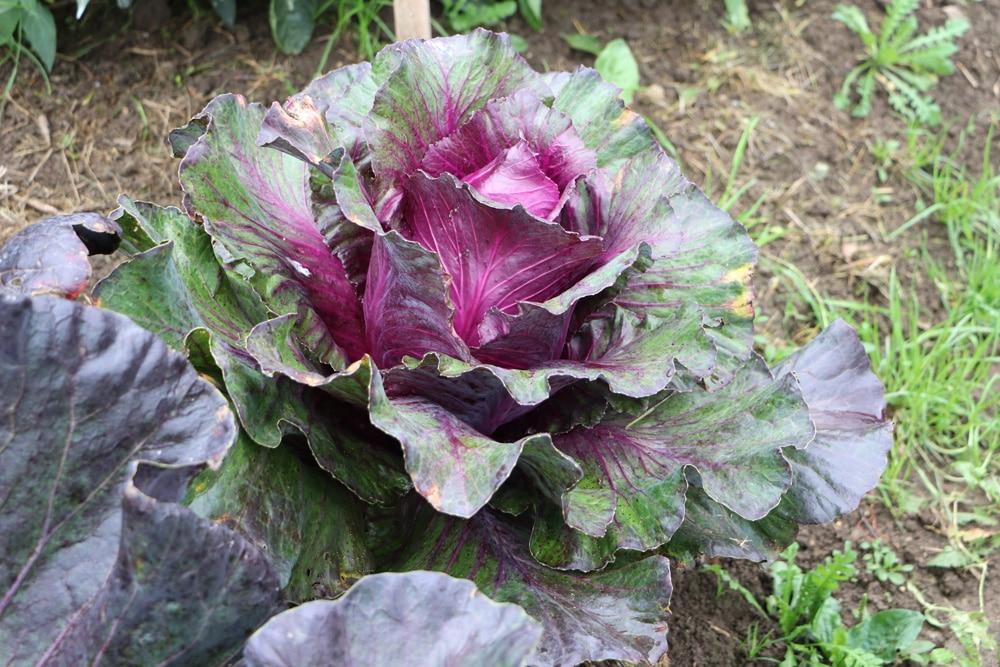 Rotkohl - Brassica oleracea var. capitata f. rubra