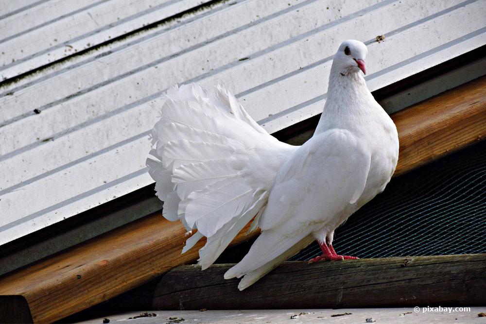 Wie Schmeckt Taube