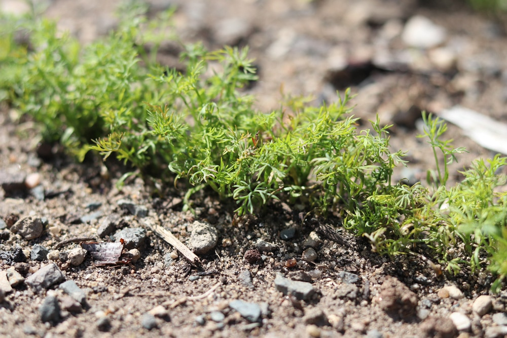 Dill - Gurkenkraut - Anethum graveolens