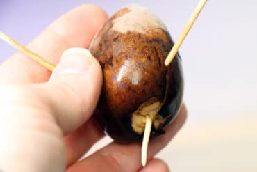 Avocado-Kern keimt