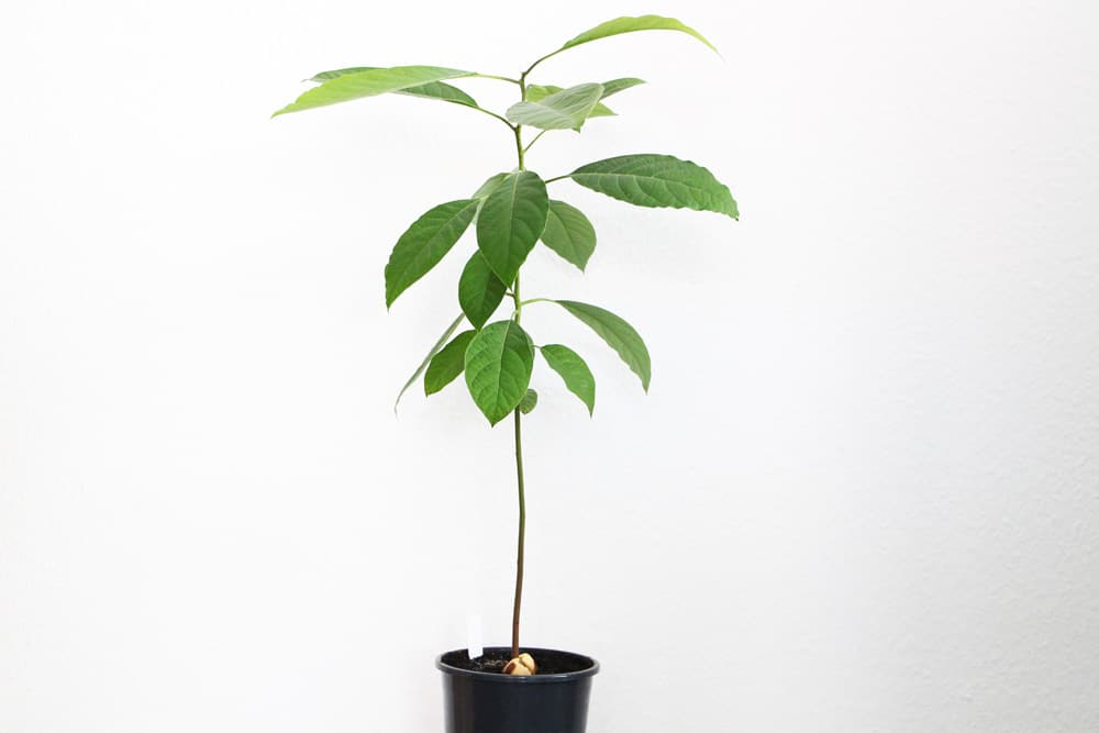 Avocado-Pflanze aus Kern
