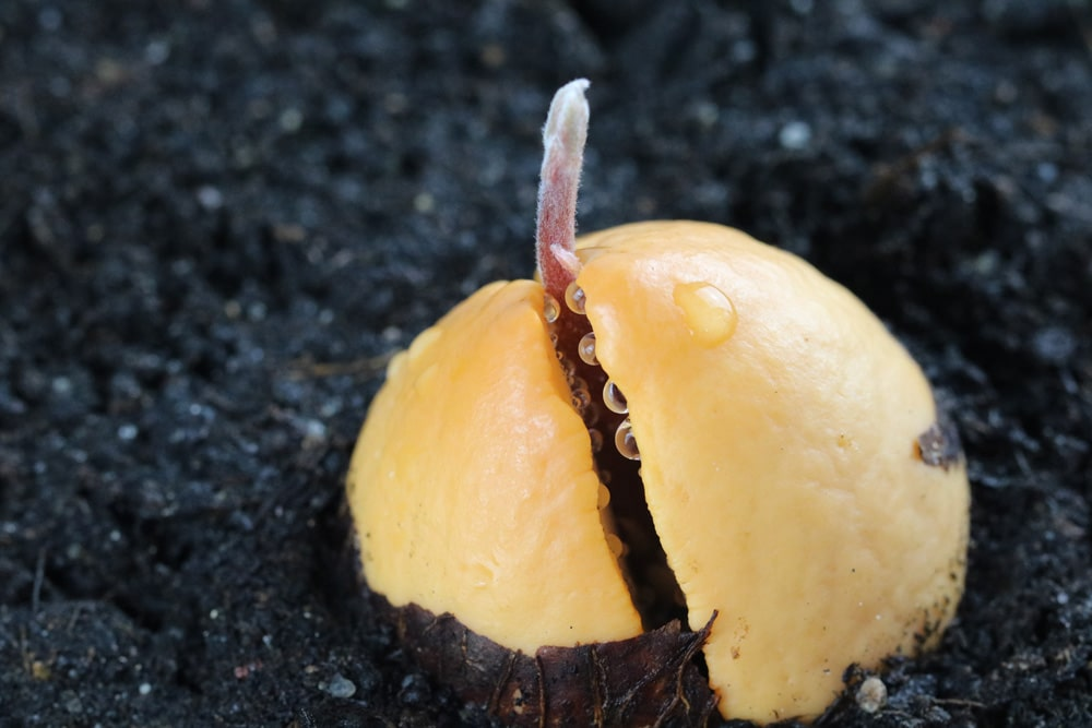 Avocado Kern treibt aus