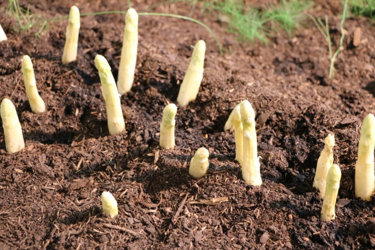 Spargel - Asparagus officinalis