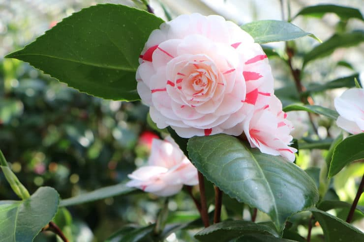 Kamelie (Camellia japonica): Blüte weiß mit rot
