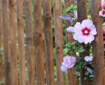 Hibiskusblüten