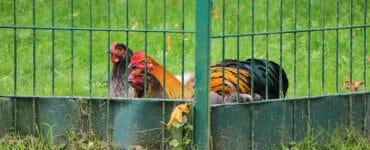 Hühner und Hahn