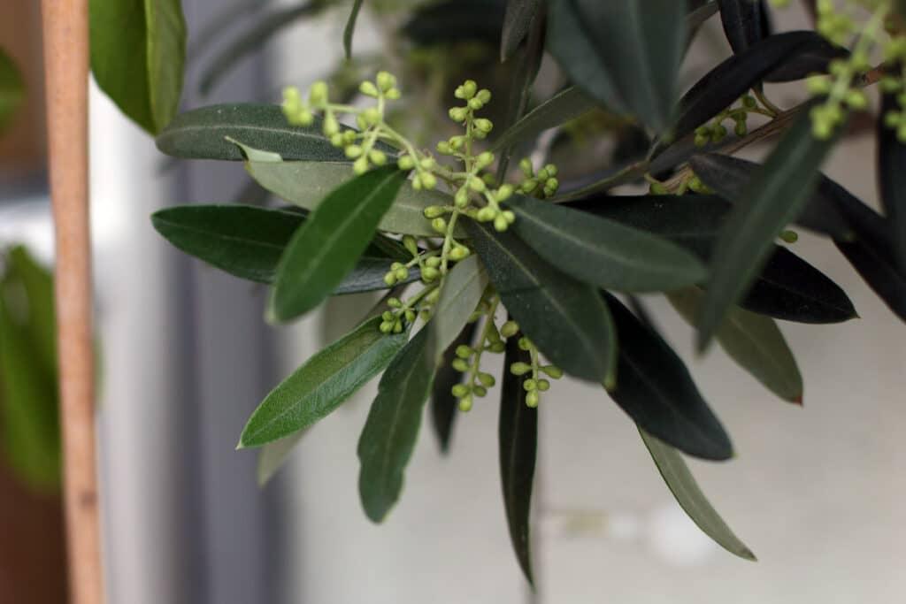 Olivenbaum mit Blüten