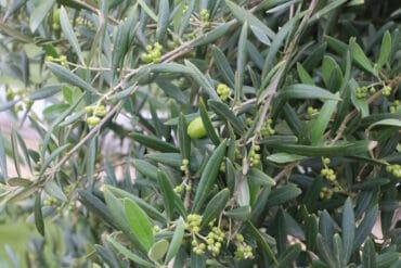 Olivenbaum mit Blüten und Früchten