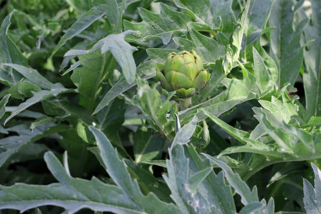 Artischocke - Cynara cardunculus var. scolymus