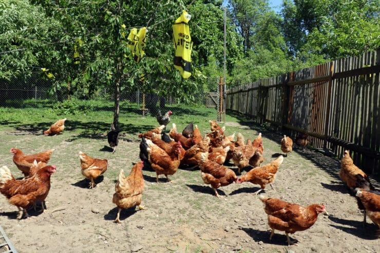 glückliche Hühner in Freilandhaltung